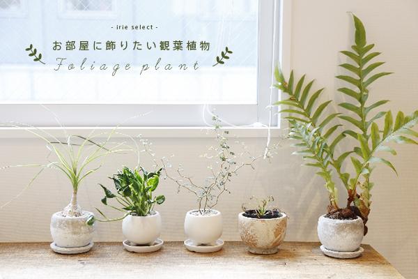 お部屋に飾りたい観葉植物*